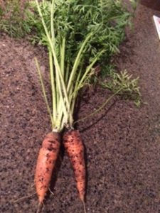 First Carrots from the Garden - Ever!
