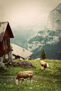 switzerland-cows